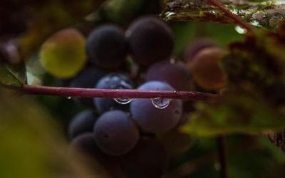 Reggia Caserta: rinasce il vino dei re